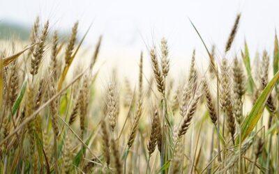 Adotta un campo di grano: il progetto che combatte lo spopolamento delle terre agricole